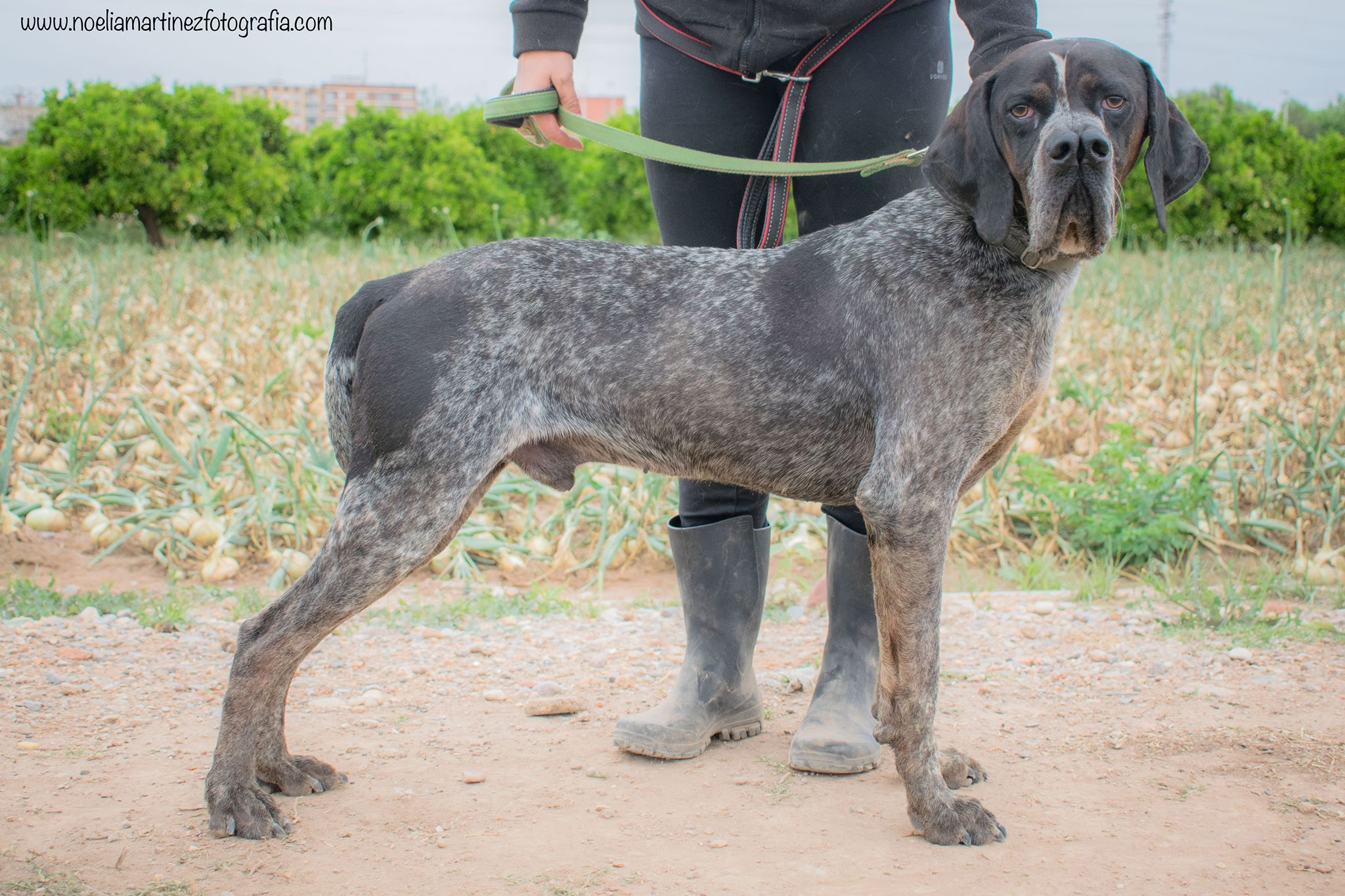 Braques/Pointers/Griffons for adoption, Spain